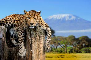 Cel mai puternic leopard din lume are aproape șase ani